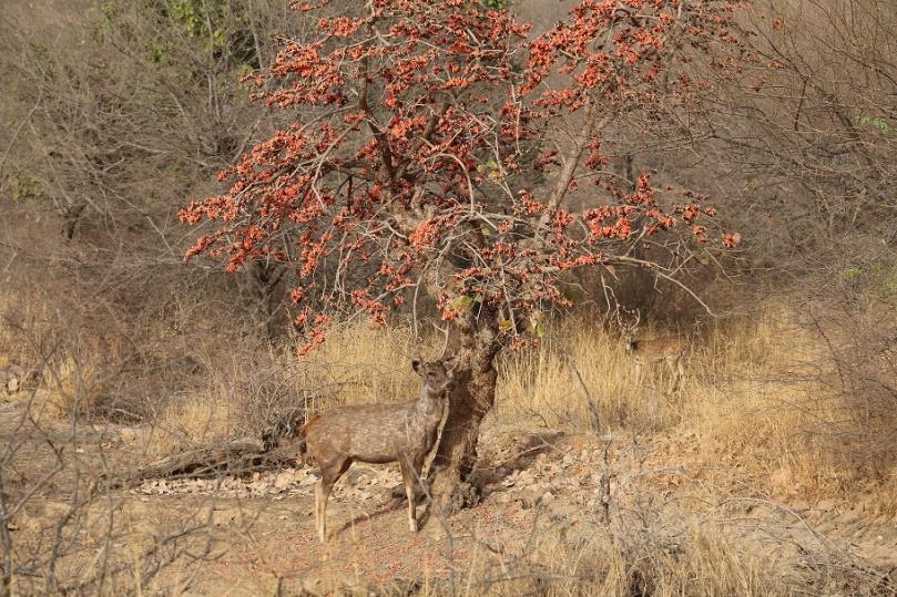Eine_Safari_im_Ranthambore_Nationalpark_4_thebraidedgirl