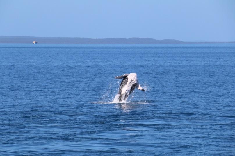 Whale Watching Hervey Bay   thebraidedgirl