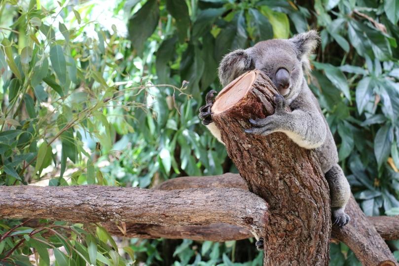 kuranda-koala-gardens-7-thebraidedgirl
