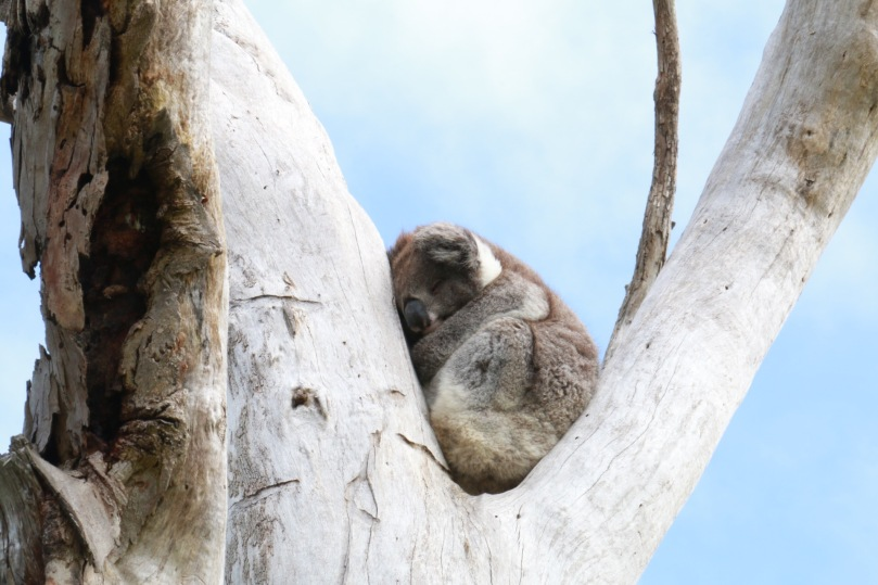Great Ocean Road | Otway Lighthouse Road Koala | thebraidedgirl
