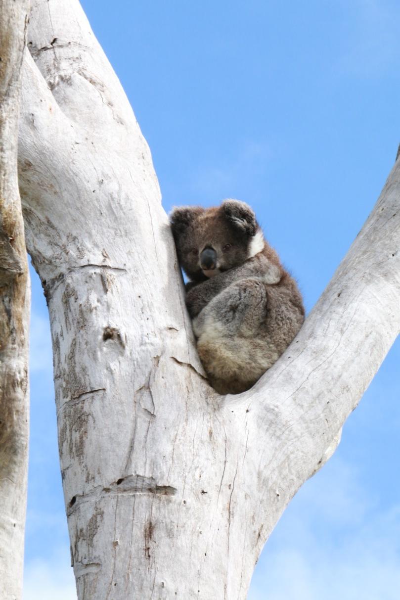 Great Ocean Road Koala | thebraidedgirl