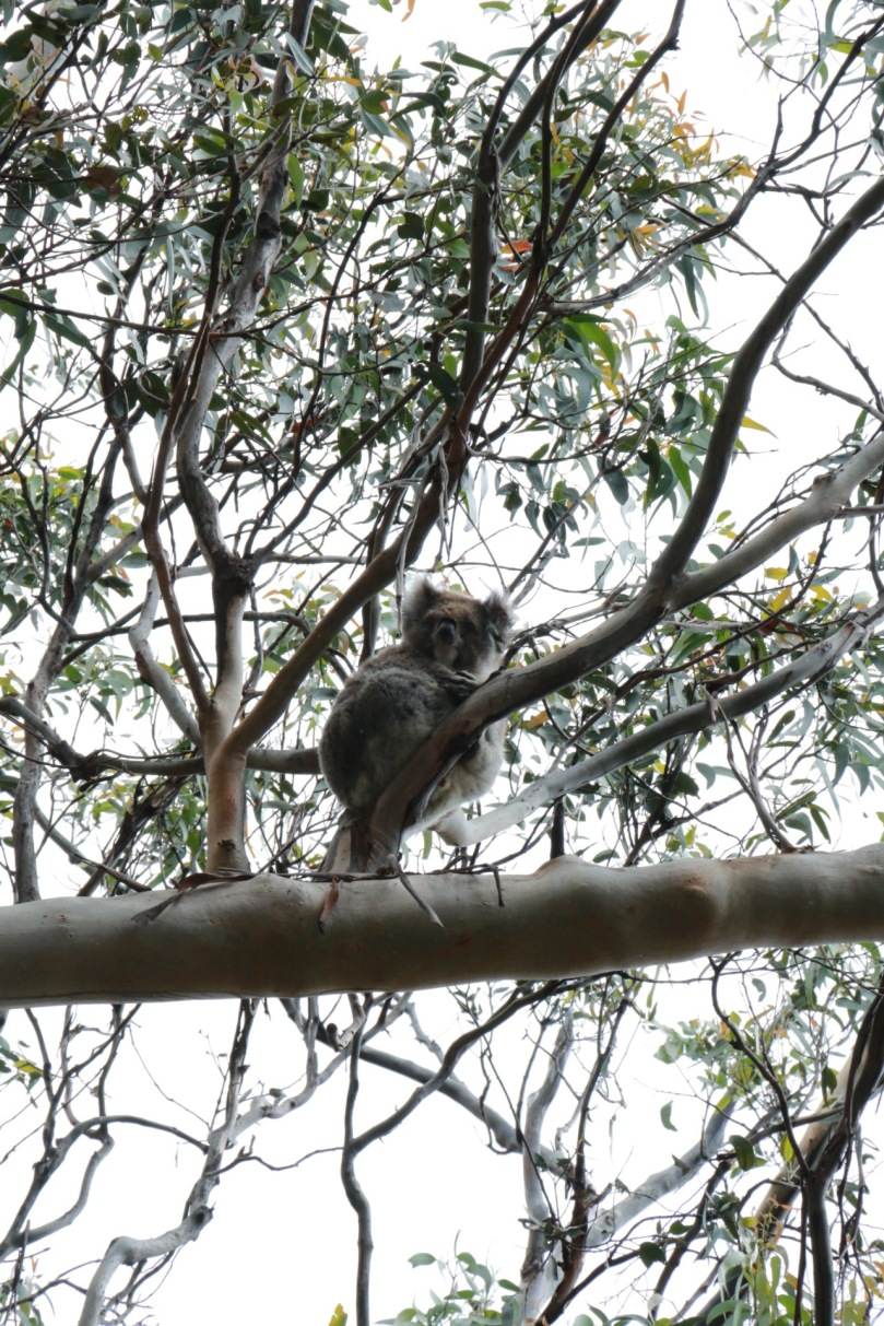 Great Ocean Road | Kennett River Koala | thebraidedgirl